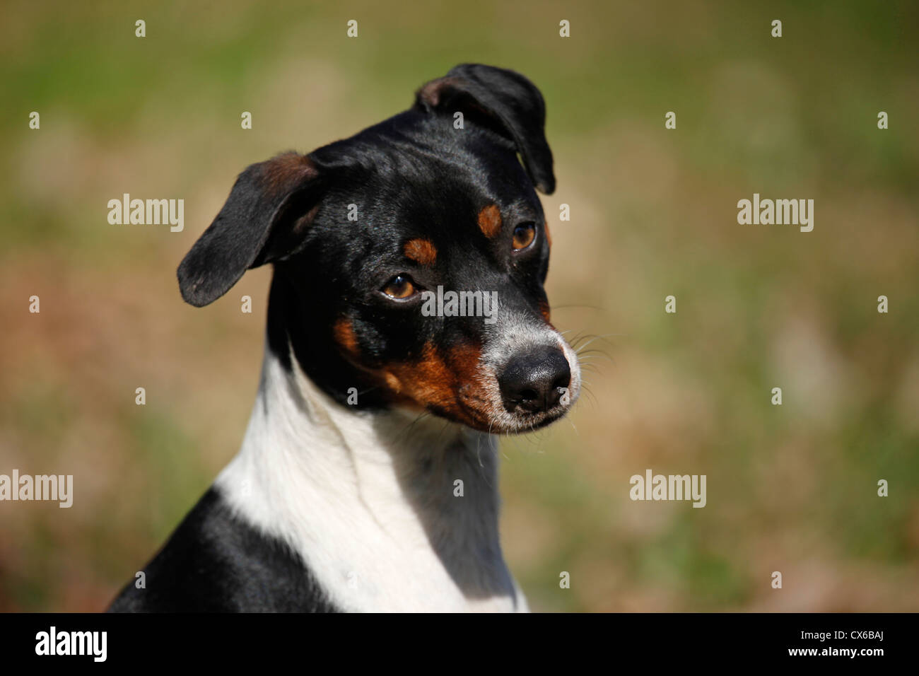 Dansk Svensk Gaardshund Stock Photo