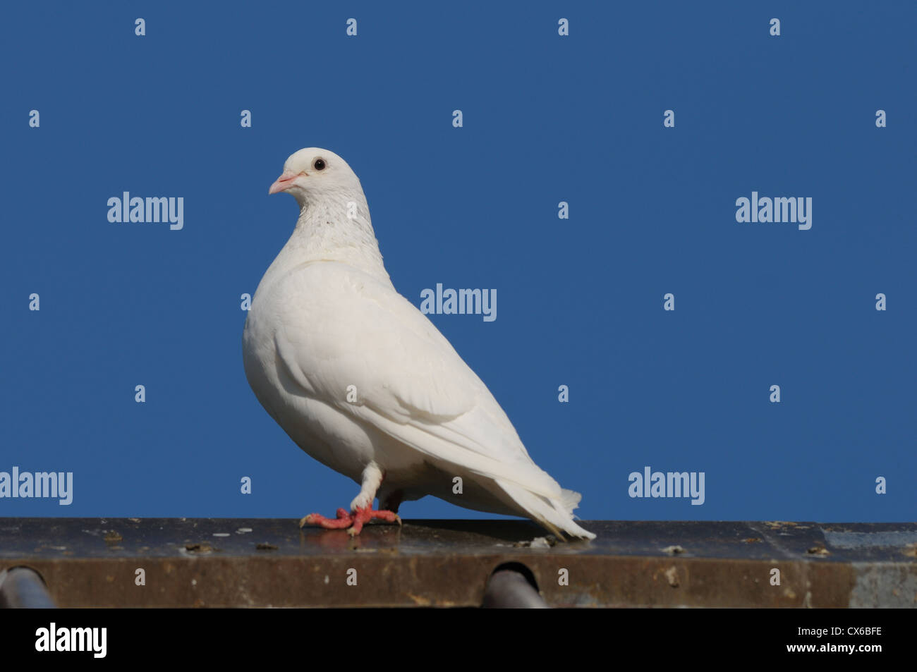 white dove - Stock Image