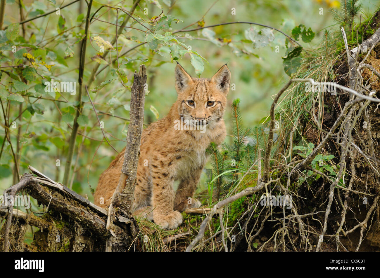 young lynx - Stock Image