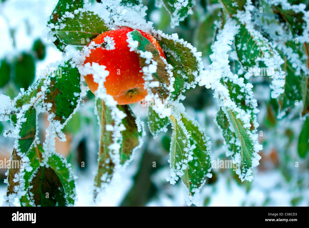 An apple in the winter Stock Photo