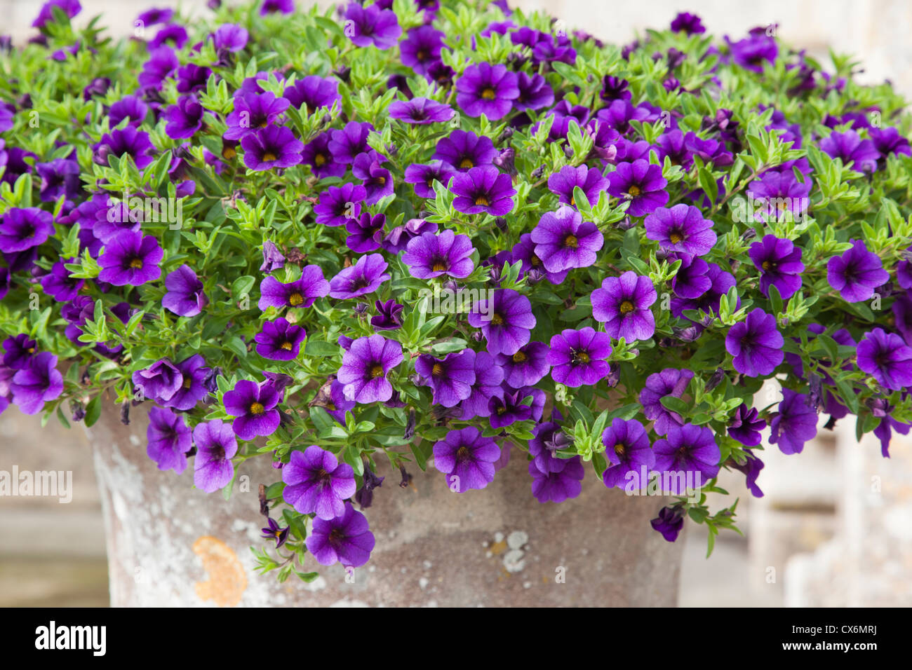 Close up of an urn of bright trailing purple petunia - Stock Image