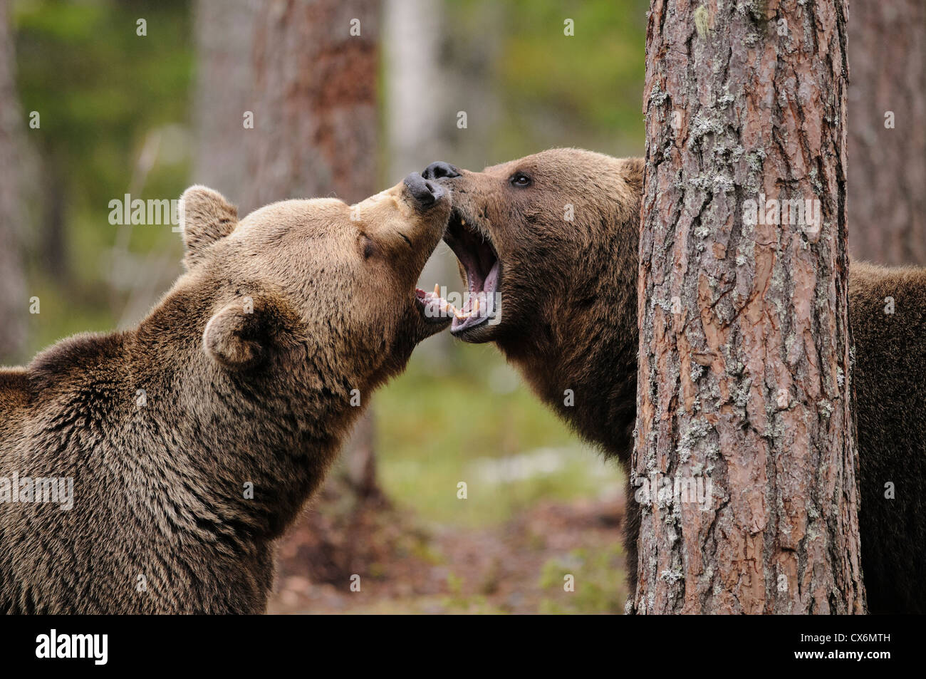Play fighting brown bears in a forest in Finland - Stock Image