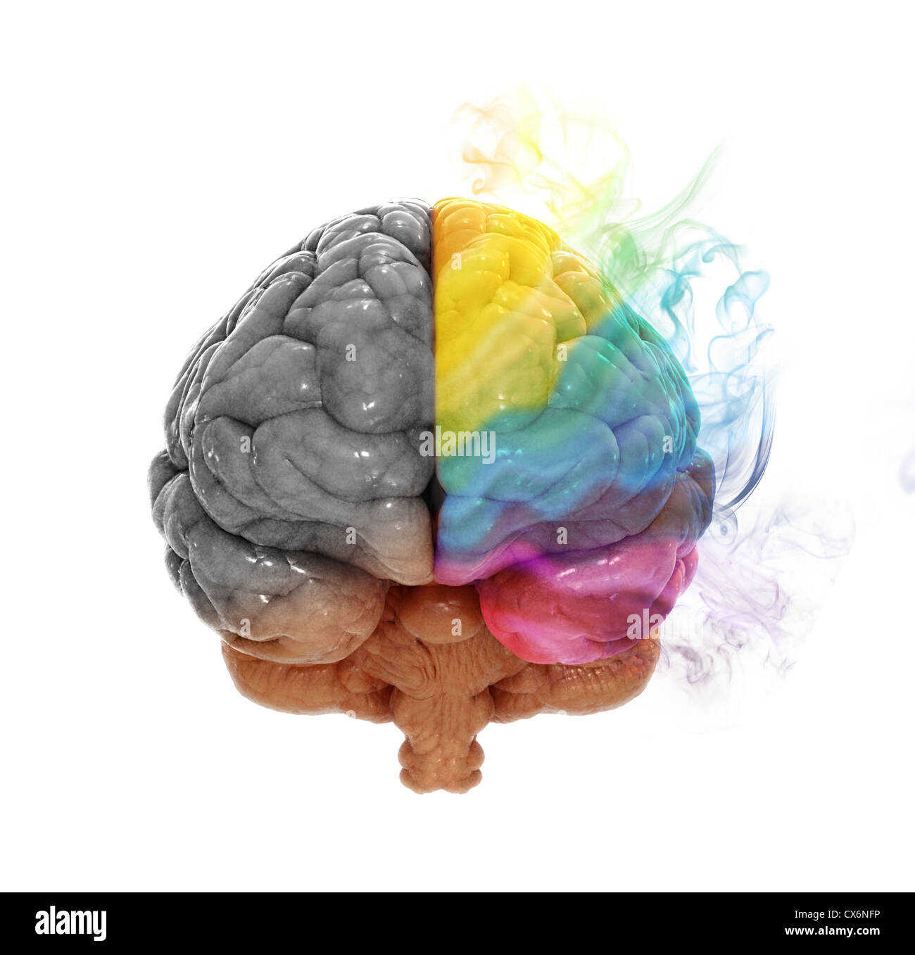 Right and left cerebral hemispheres - creativity and analytical thinking concept - Stock Image