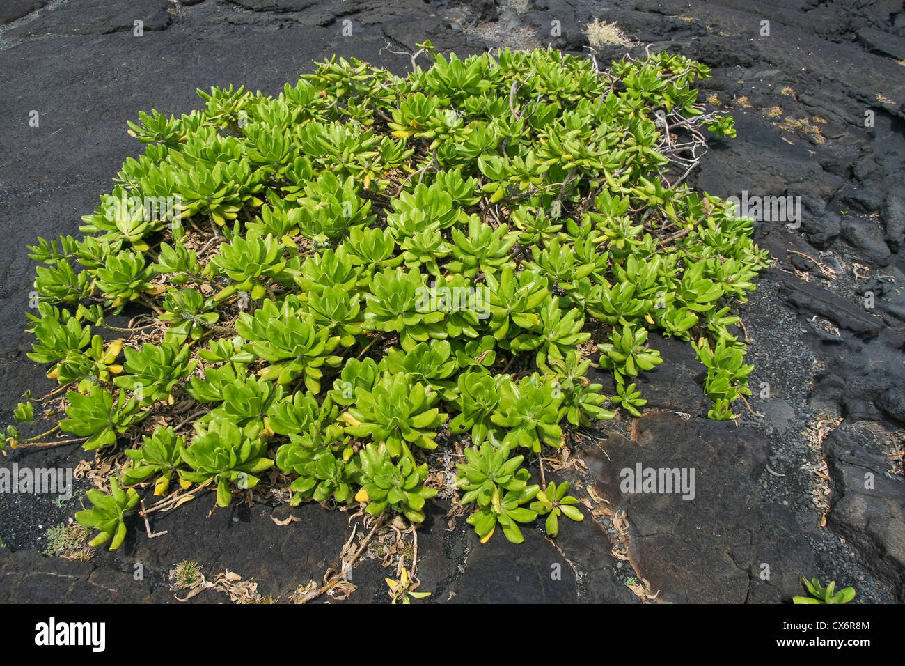 Healthy plant superbly adapted to sulfur dioxide emissions of volcanoes in Hawaii. - Stock Image