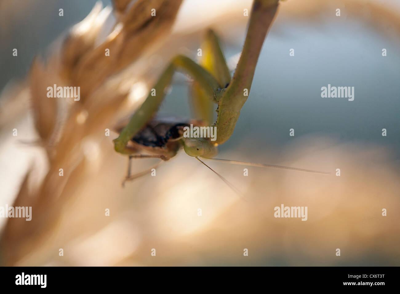 Praying / preying mantis eating a squash bug. - Stock Image