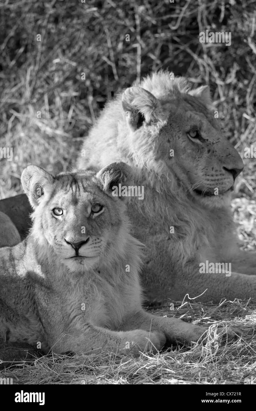 lion pride wild animal Okavango Delta Botswana - Stock Image