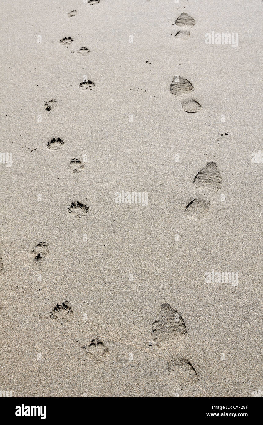 Concept of human activity - Footprints of dog and owner on sandy beach / shoreline. Perranporth beach, Cornwall. Stock Photo