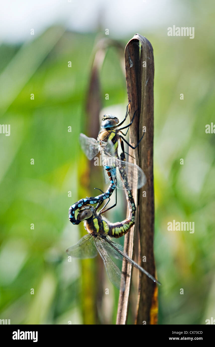 A pair of breeding Migrant Hawkers - Stock Image