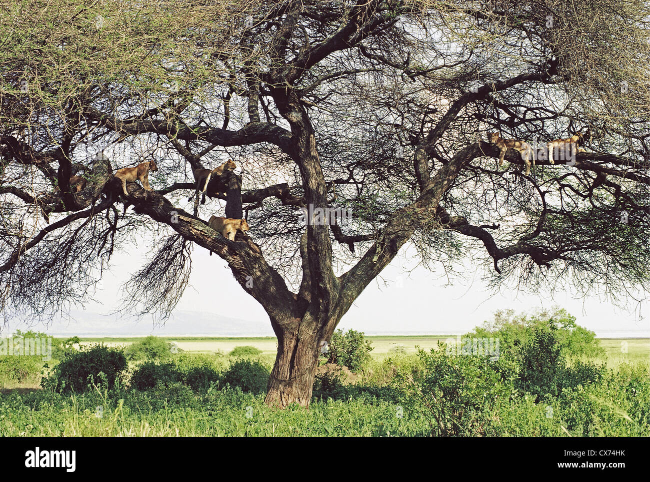 Tree with several female Lions lionesses in its branches Lake Manyara National Park Tanzania - Stock Image