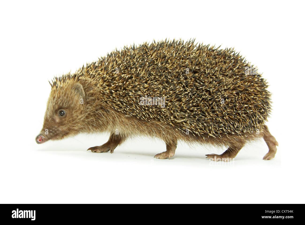 hedgehog  isolated on white - Stock Image