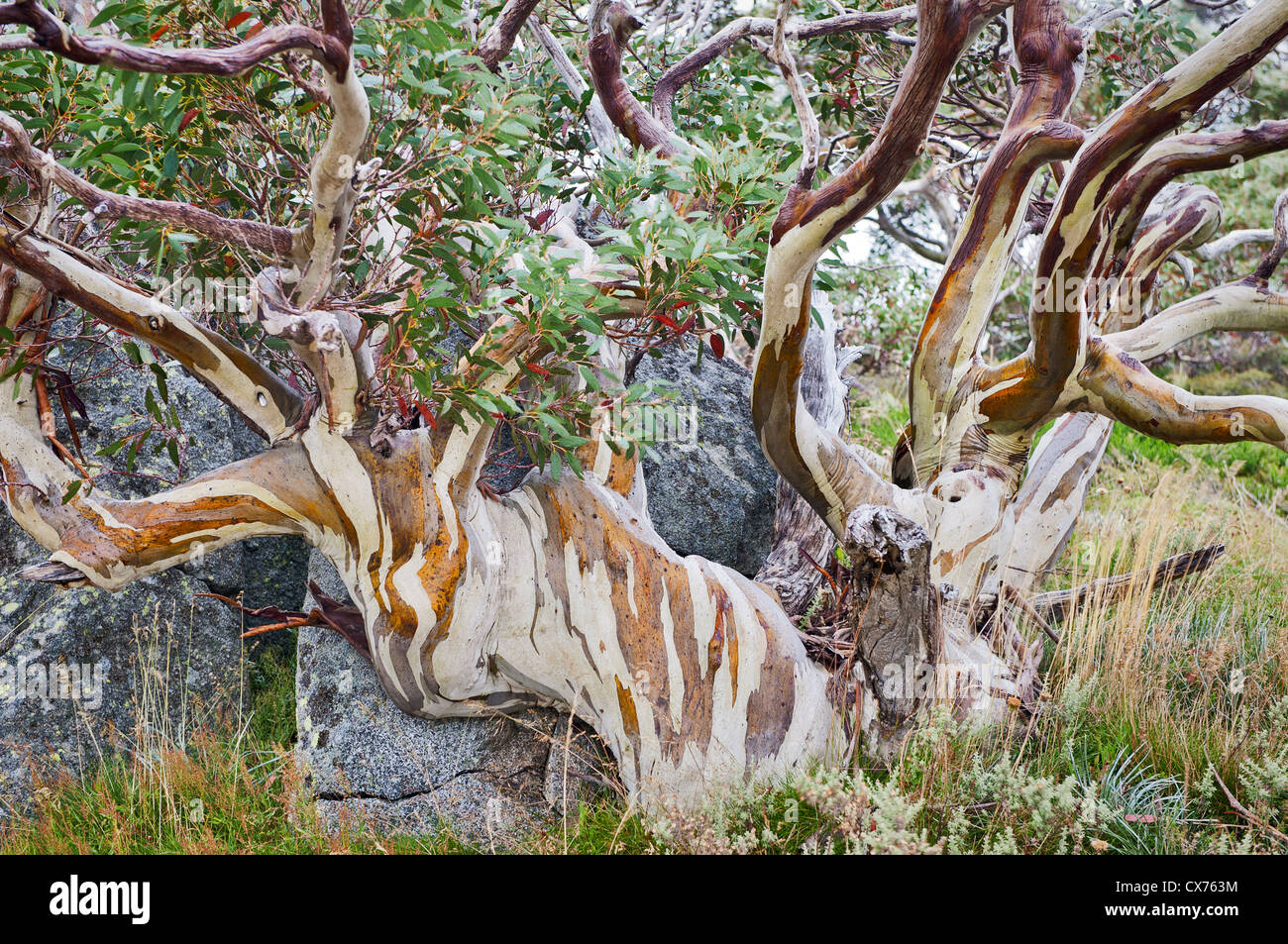 Colourful Snow Gum growing around a rock. Stock Photo