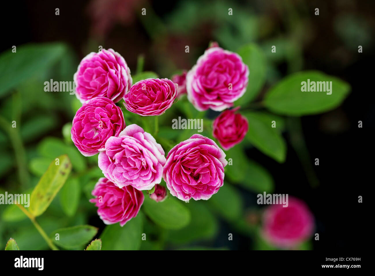Bunch of pink rose flowers in a garden - Stock Image