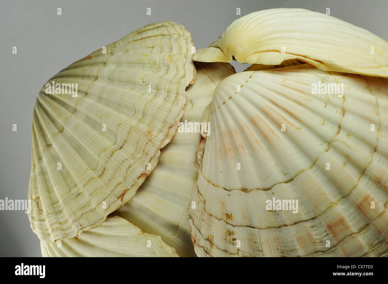 Scallop Shells, Close-up - Stock Image