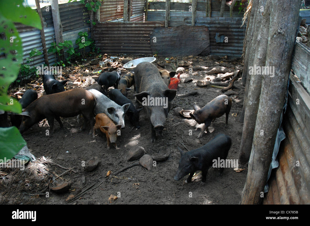 Domestic pigs and piglets, Tonga - Stock Image