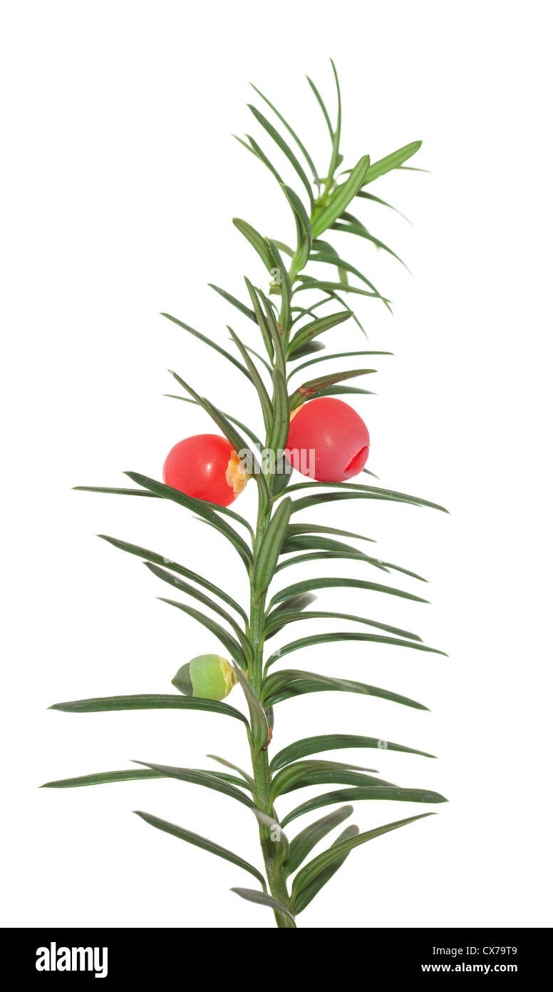 branch yew with red fruits on white background Stock Photo