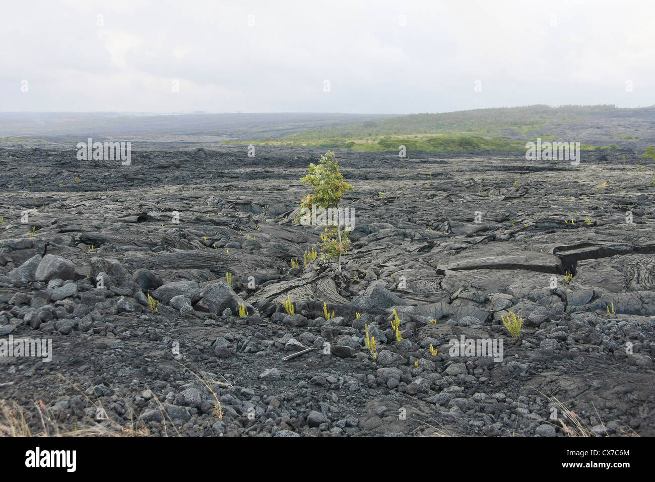 Vegetation superbly adapted to sulfur dioxide emissions of volcanoes in Hawaii. - Stock Image