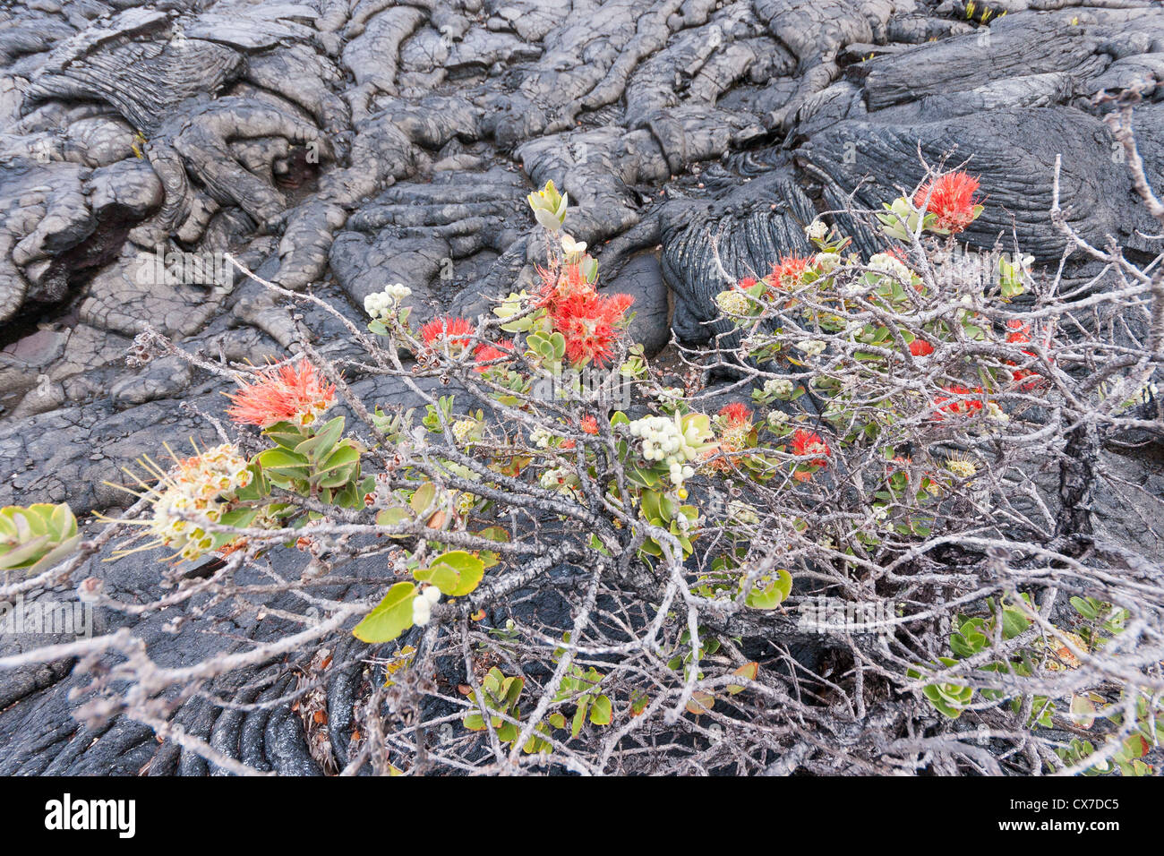 Ohia lehua plant is superbly adapted to sulfur dioxide emissions of volcanoes in Hawaii. - Stock Image