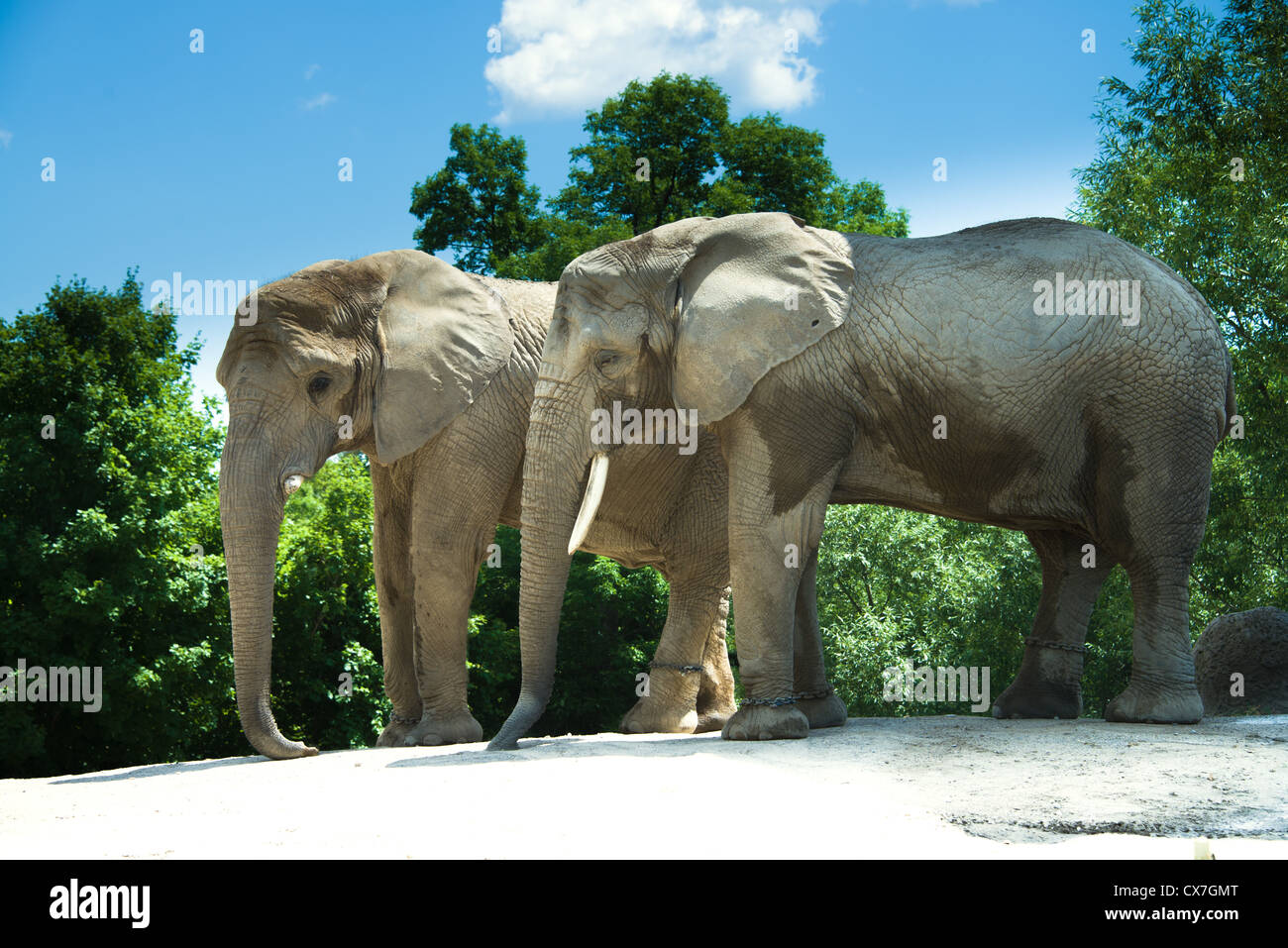 This is an image of African elephants at the Toronto Zoo - Stock Image