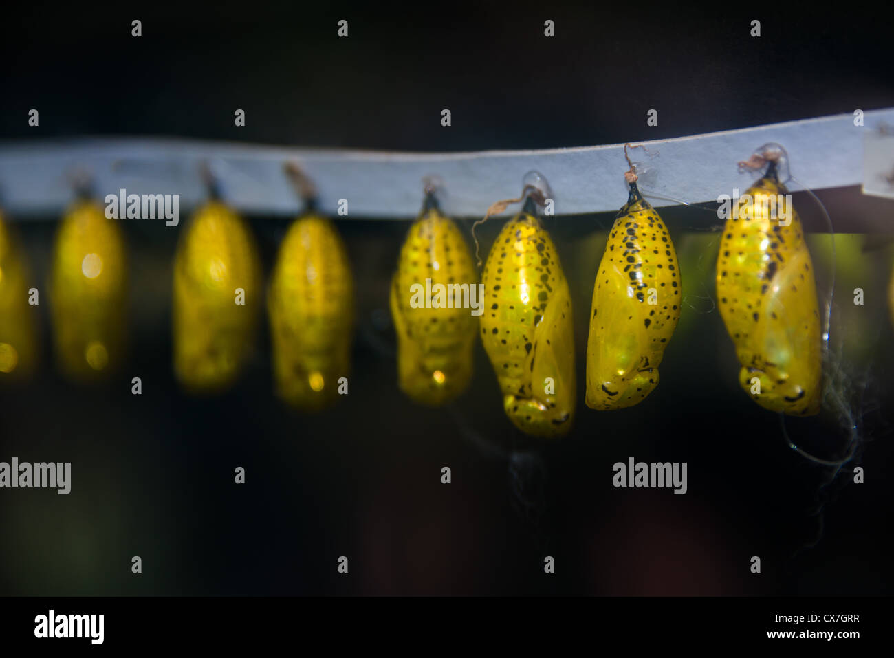 This is an image of butterfly pupae hanging in a hatchery. - Stock Image
