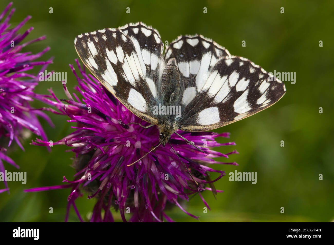 Marbled White (Melanargia galathea) butterfly on a Knapweed flower - Stock Image