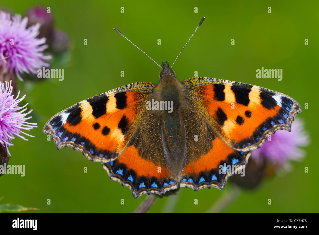Small Tortoiseshell (Aglais urticae) butterfly on a thistle flower - Stock Image