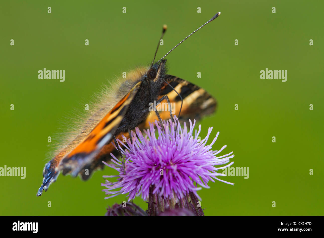 Small Tortoiseshell (Aglais urticae) butterfly feeding on a thistle flower - Stock Image