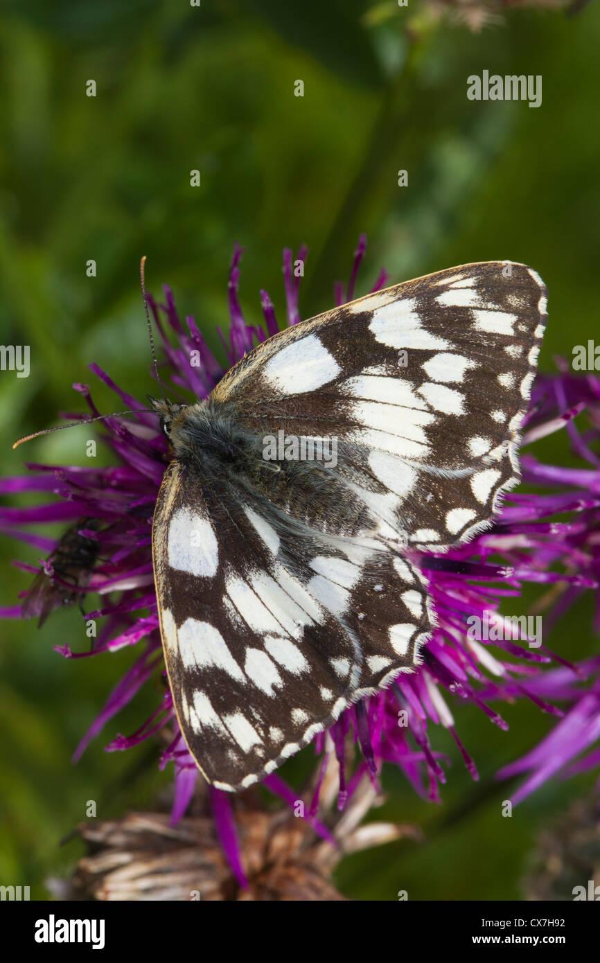 Marbled White (Melanargia galathea) butterfly on a Knapweed flower - Stock Image