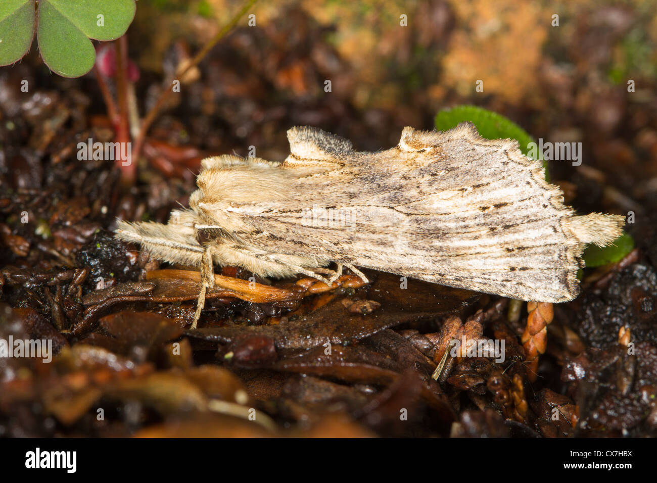 Pale Prominent (Pterostoma palpina) moth - Stock Image