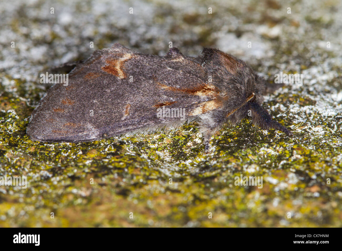 Iron Prominent (Notodonta dromedarius) moth - Stock Image