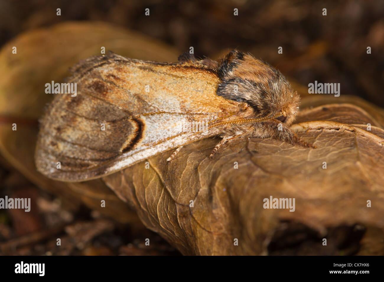 Pebble Prominent (Notodonta ziczac) moth - Stock Image