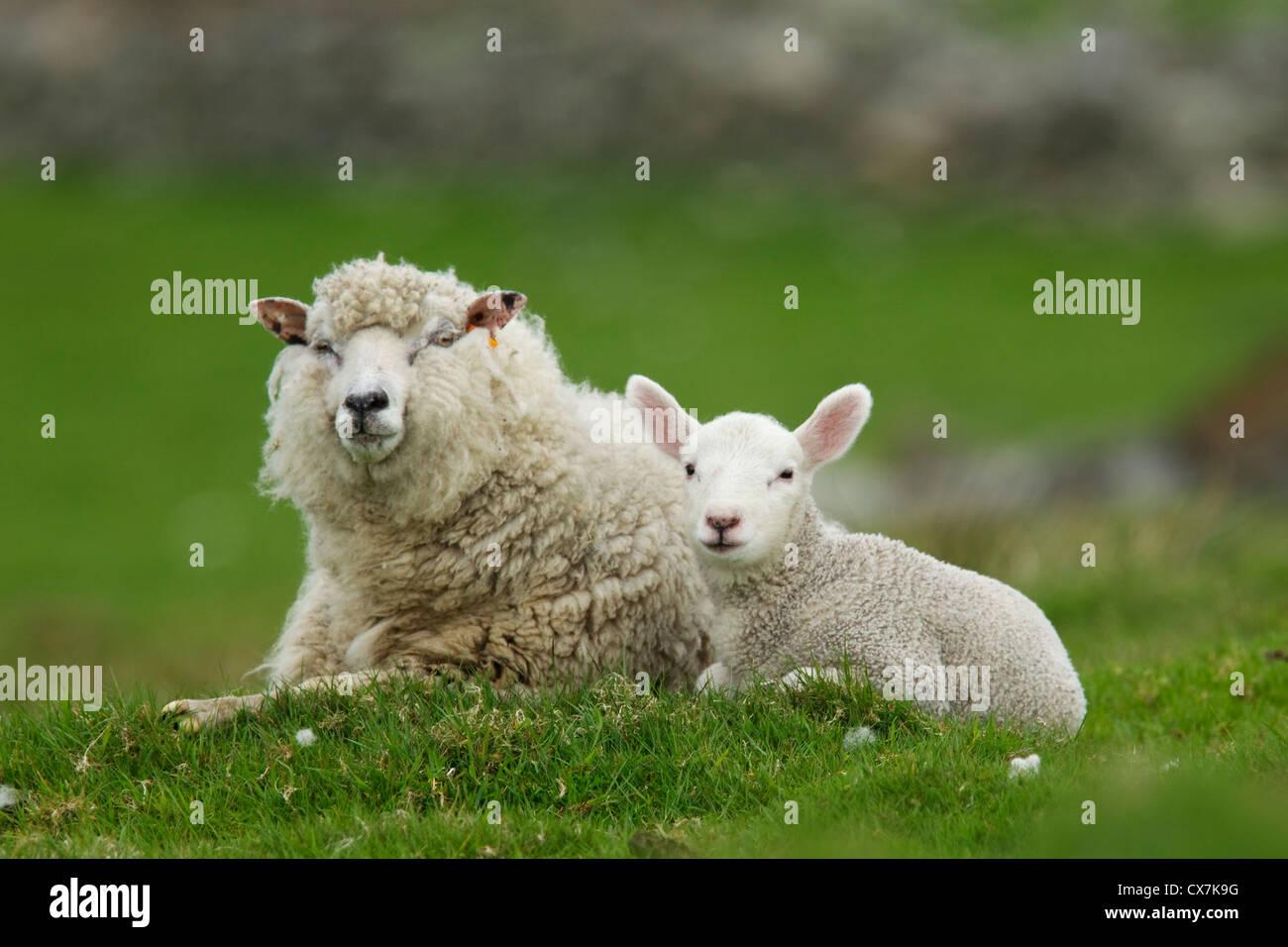 Sheep - ewe with single lamb Shetland, UK MA002482 - Stock Image