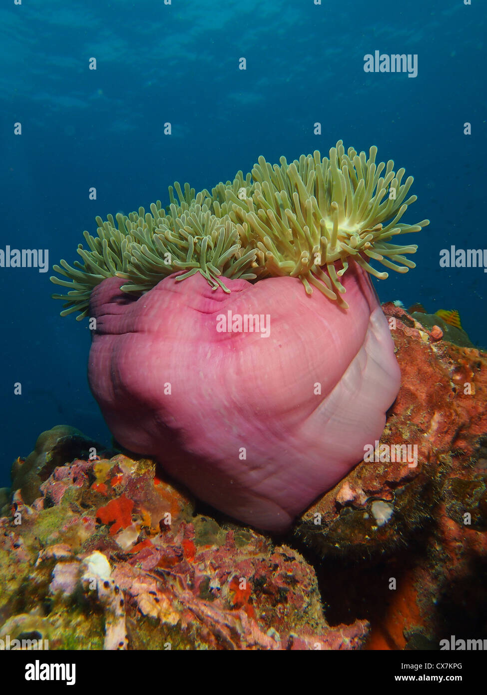 Sea Anemone on a Coral Reef - Stock Image