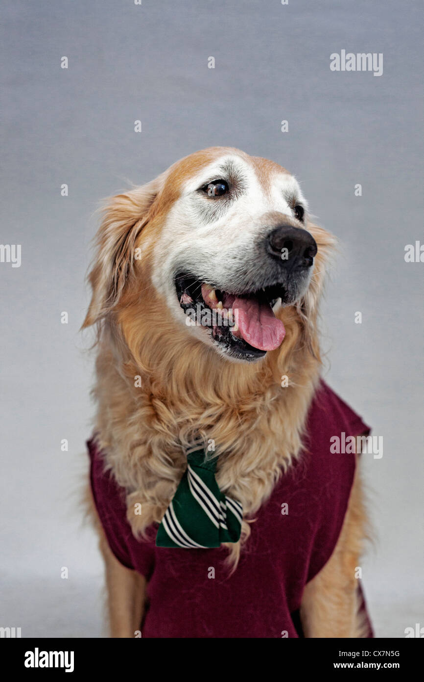 A golden retriever wearing a tie and sweater vest - Stock Image