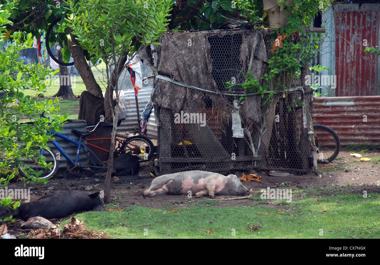 Domestic pigs lazing outside a village house, Tonga - Stock Image