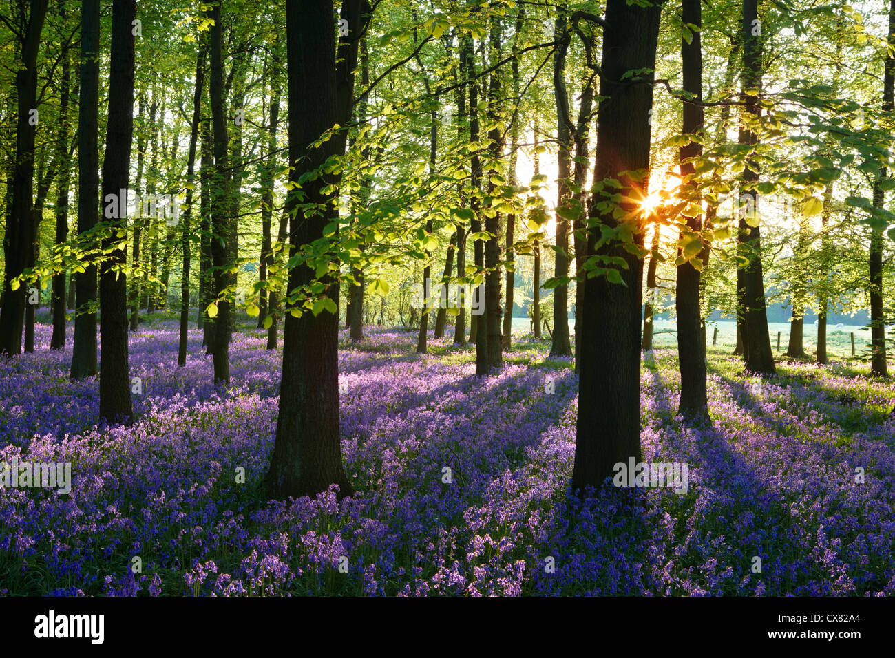 A covering of English bluebells highlighted by early sunlight. A misty sea of blue carpets the woodland floor during - Stock Image