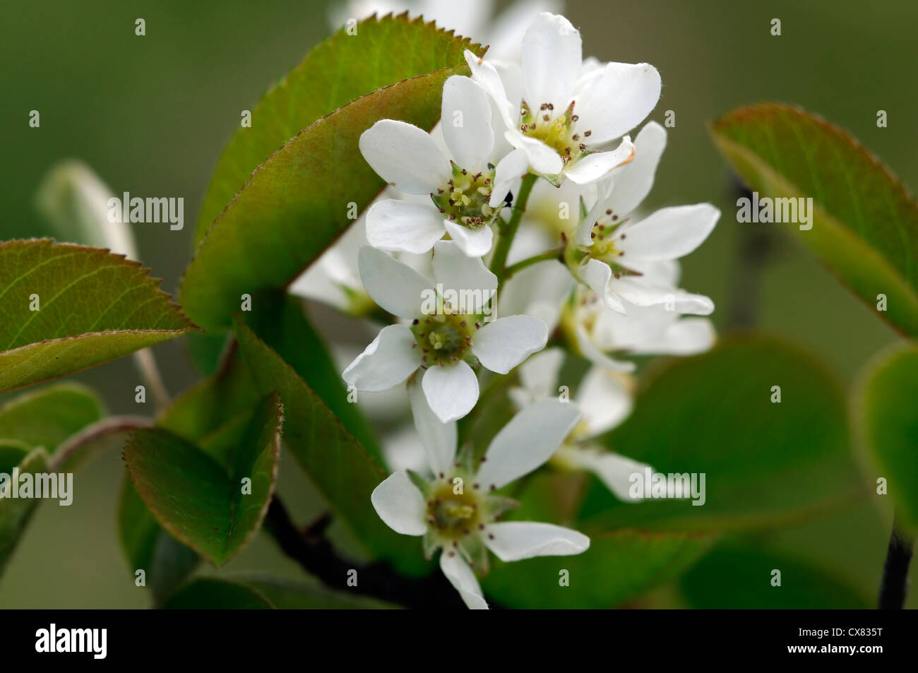 Amelanchier spicata white flowers flowering spring bloom blooming amelanchier spicata white flowers flowering spring bloom blooming blossom garden tree mightylinksfo