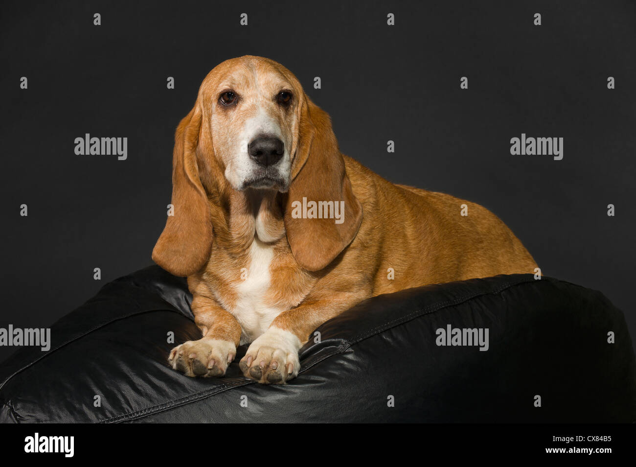 Bassett Hound On A Black Cushion And Background; St. Albert, Alberta, Canada - Stock Image
