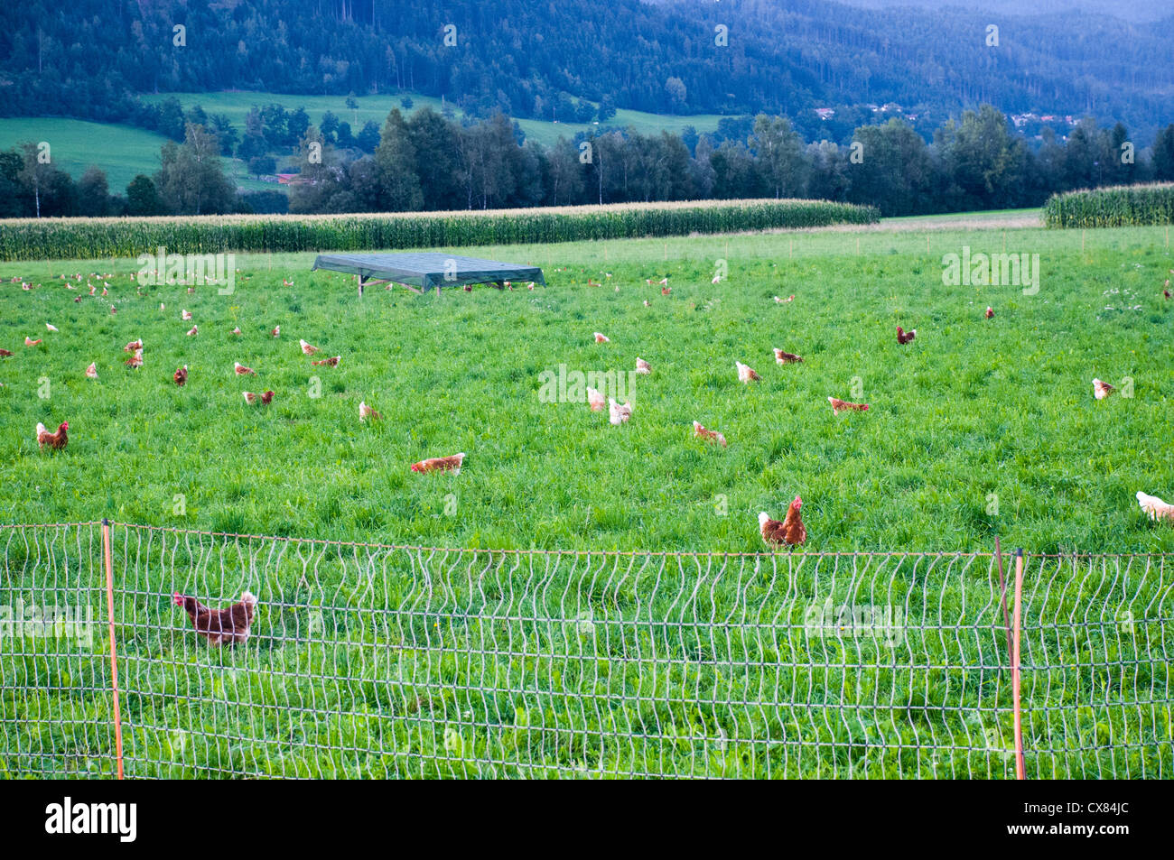 Flock of domestic Free-range chickens (Gallus sp.) feeding in a farm yard Photographed in Tyrol Austria - Stock Image