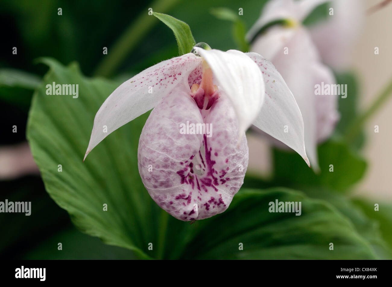 cypripedium formosanum closeups close-ups ups pink flowers flowering blooms colours colors orchids cypripediums - Stock Image