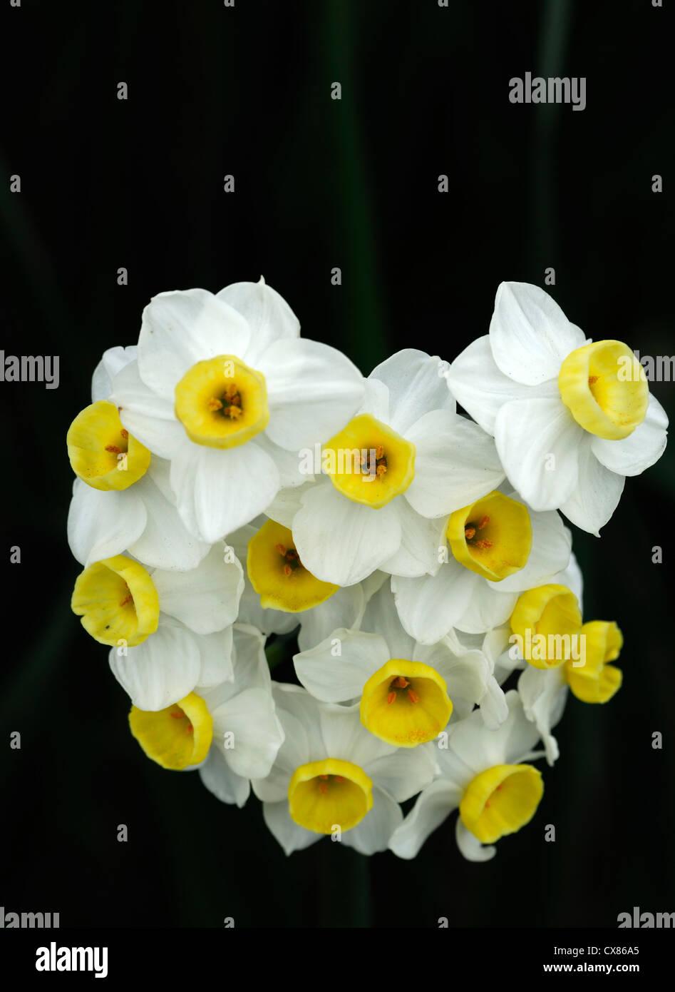 Narcissus Geranium Tazetta Multi Head White Daffodil Yellow Flower