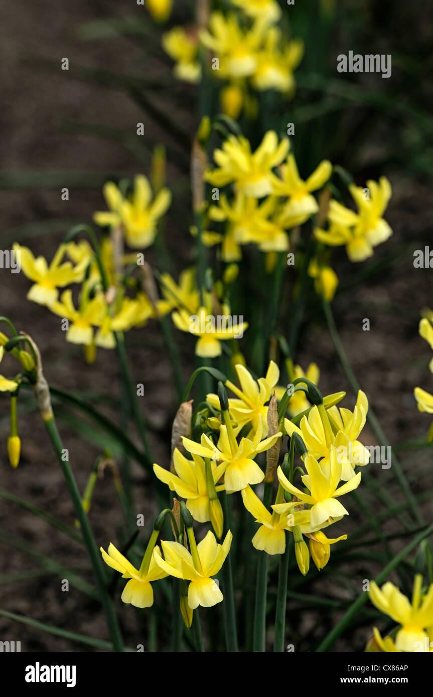 Narcissus Hawera Triandrus Daffodil Dwarf Miniature Yellow Flower