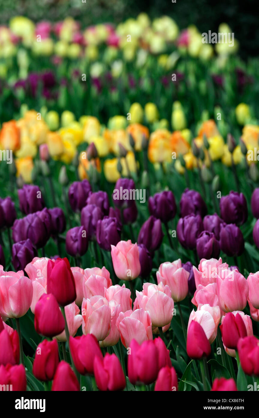tulipa negrita apricot beauty couleur cardinal tulip tulips pink red purple mix mixed bed border spring bulbs colour - Stock Image