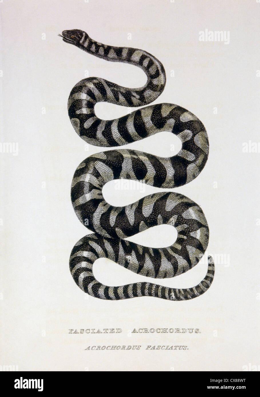 Fasciated Acrochordus (Acrochordus Fasciatus), Hand-Colored Engraving, Circa 1830 - Stock Image