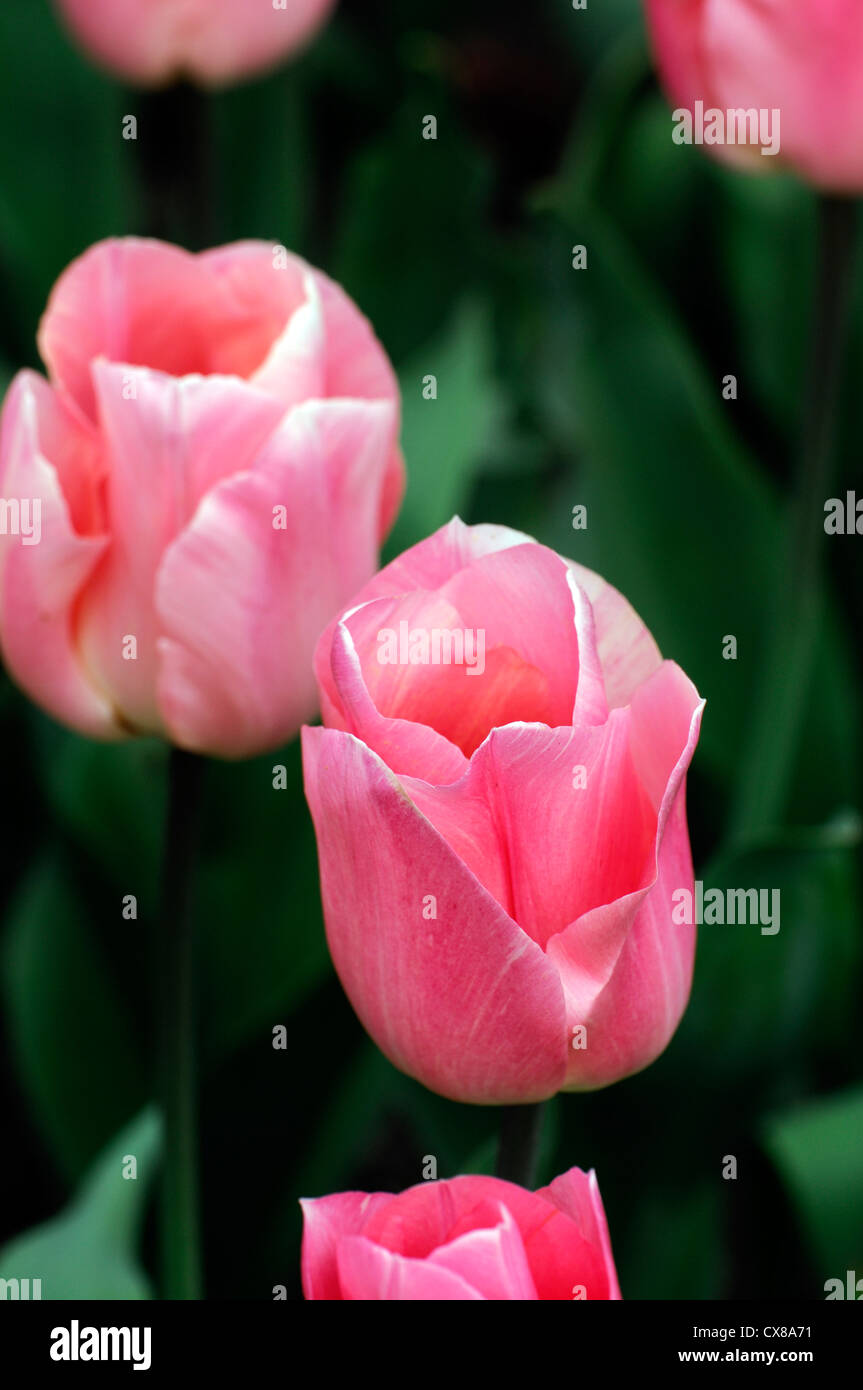 Tulipa apricot beauty single early salmon pink tulip garden flowers spring flower bloom blossom bed colour color - Stock Image