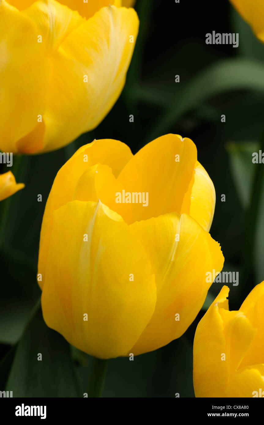 Tulipa candela yellow fosteriana tulip garden flowers spring flower bloom blossom bed colour color - Stock Image