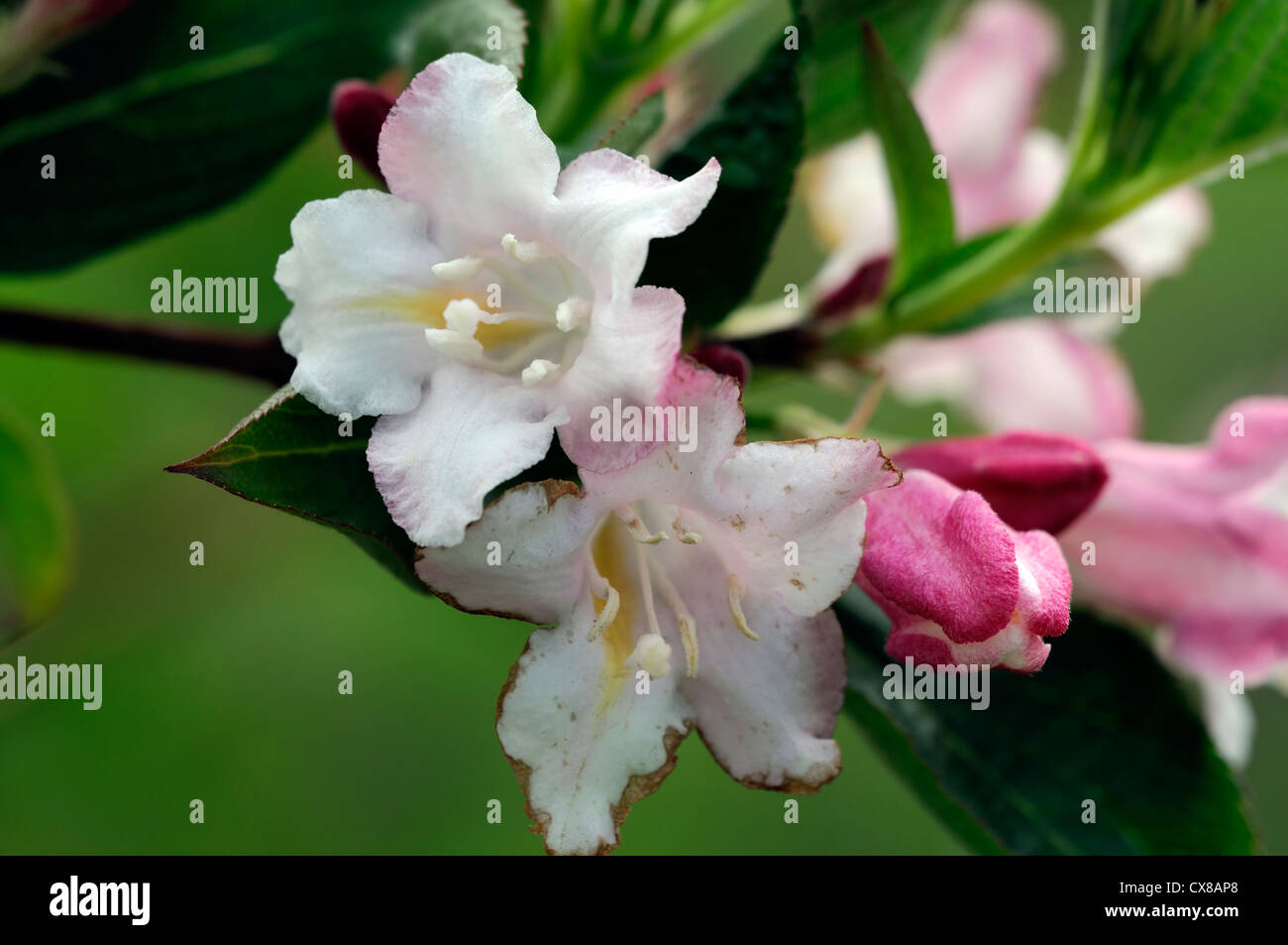 weigela japonica var sinica flowering flowers blooms blossoms shrub shrubs pink white plant portraits closeup selective Stock Photo