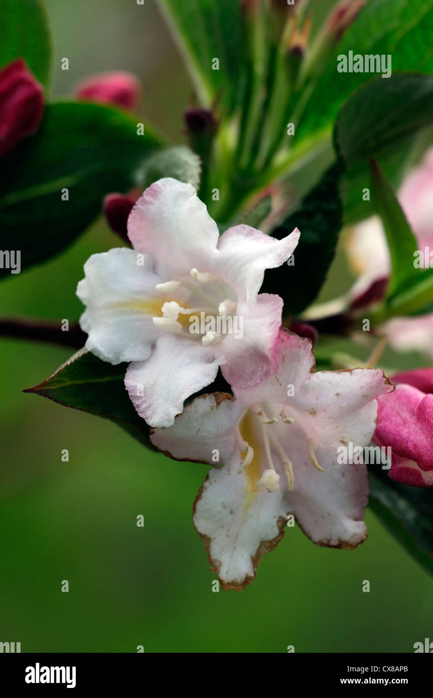 weigela japonica var sinica flowering flowers blooms blossoms shrub shrubs pink white plant portraits closeup selective Stock Photo