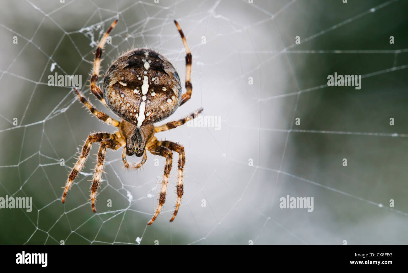Garden spider on its web - Stock Image