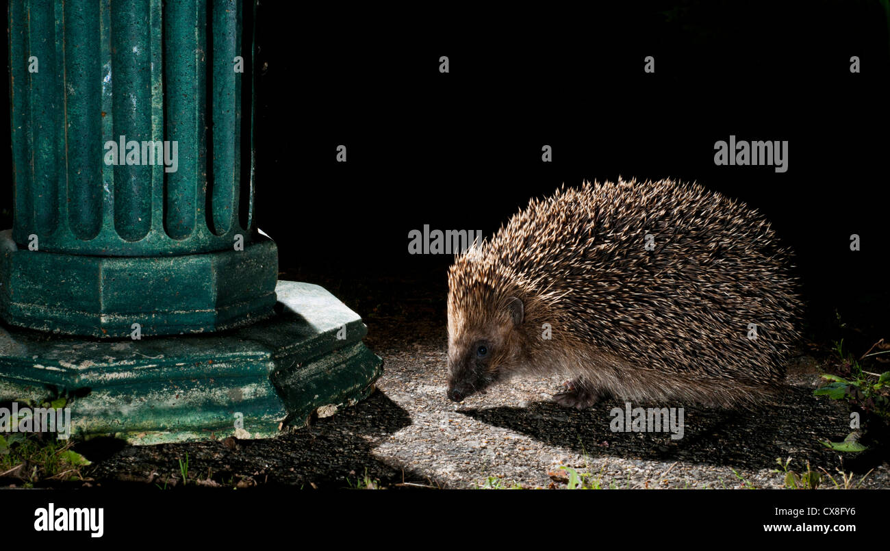 Hedgehog foraging in a residential garden - Stock Image
