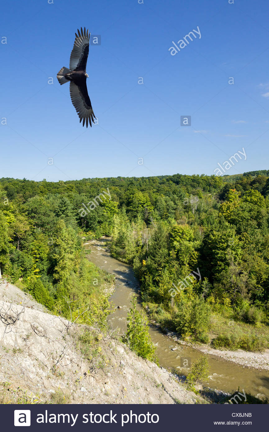 Turkey Vulture (Cathartes aura) riding thermals over Little Rouge Creek in Rouge National Urban Park Toronto Ontario - Stock Image